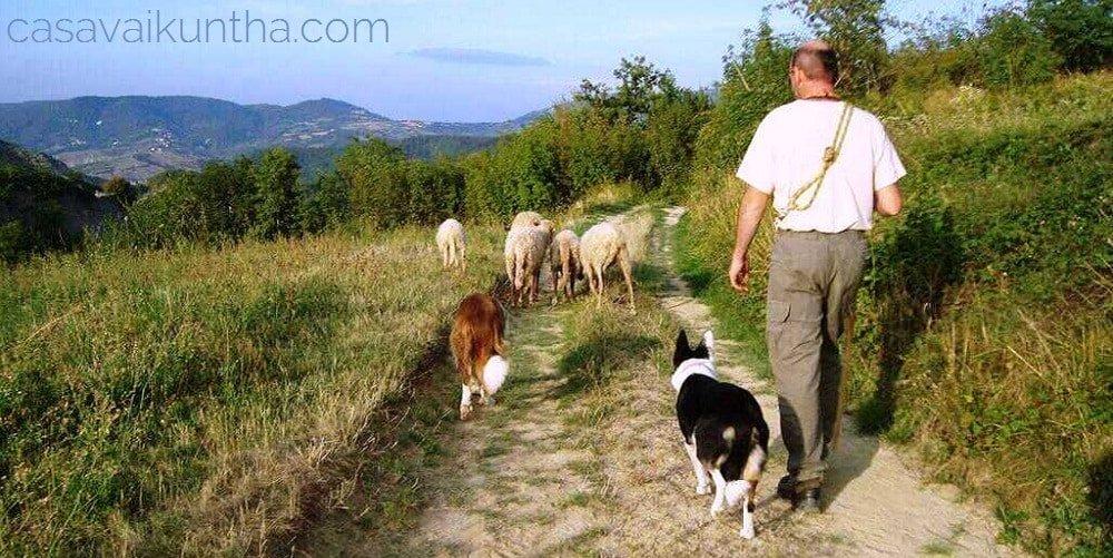 addestramento cani da pastore