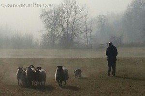 cane da pastore che conduce pecore