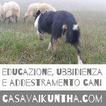 addestramento cani sheepdog