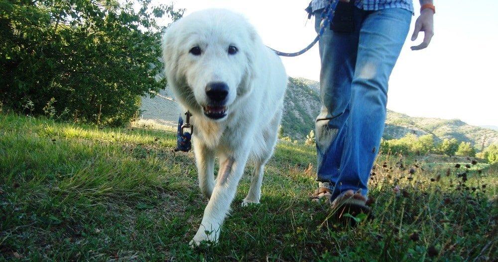cane al guinzaglio pastore maremmano