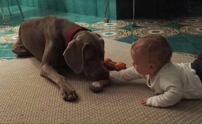 cane e padrone weimaraner