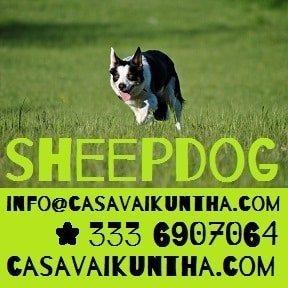 Lezioni di sheepdog