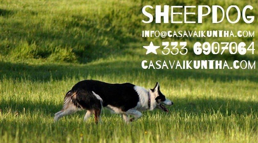 contattami se vuoi fare sheepdog