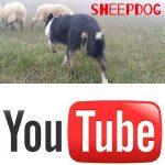 cane da pastore sheepdog video