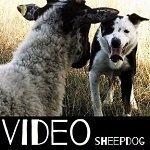 video cane da pastore