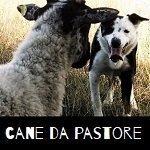 cane da pastore bordercollie per dimostrazione sheepdog alla festa di fabbrica curone