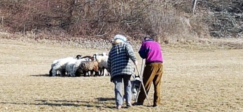 storia dello sheepdog in Italia Laura Piperno insegna