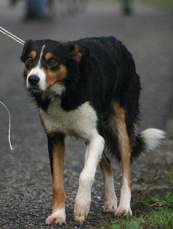 storia dello sheepdog italiano joe di laura piperno