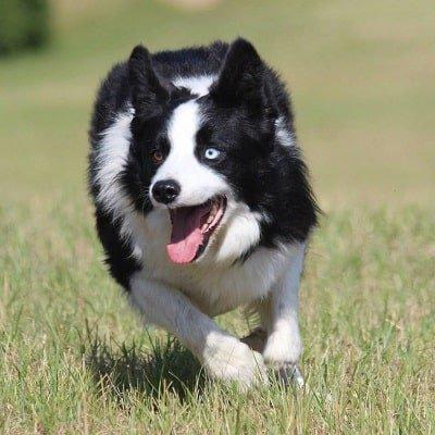 storia dello sheepdog in italia mirk di laura piperno
