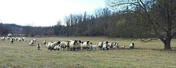 storia dello sheepdog in italia