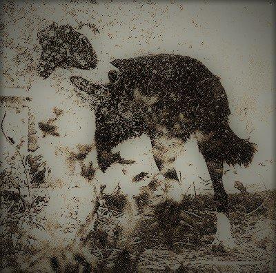 Meg nella storia dello sheepdog in italia