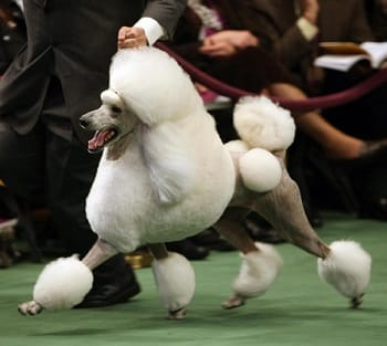 comprare o adottare un cane da bellezza
