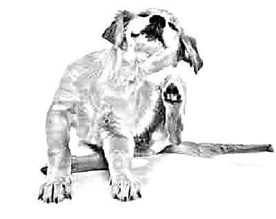 cane infestato dalle pulci
