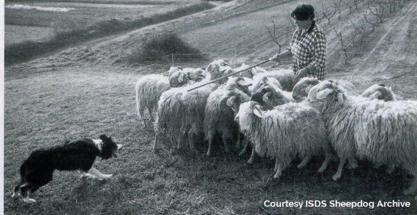history italian sheepdog dolwen moss
