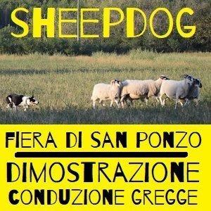 dimostrazione sheepdog