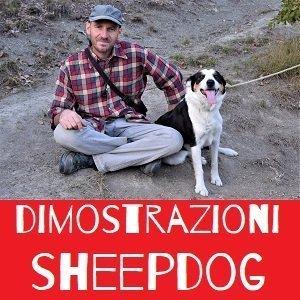 dimostrazione sheepdog alla festa di fabbrica curone