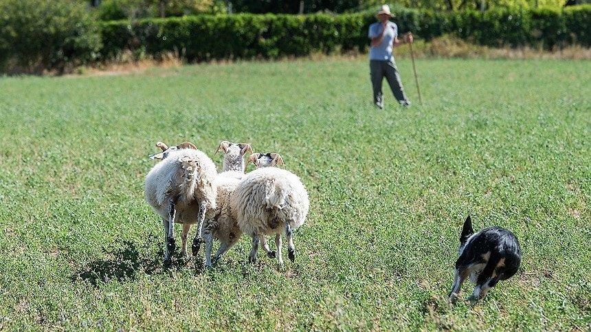 dimostrazione sheepdog alla fiera del bestiame di ottone