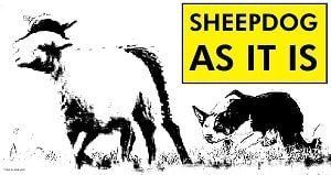 storia-dello-sheepdog-in-italia