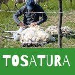 tosatura delle pecore asciugatura della lana