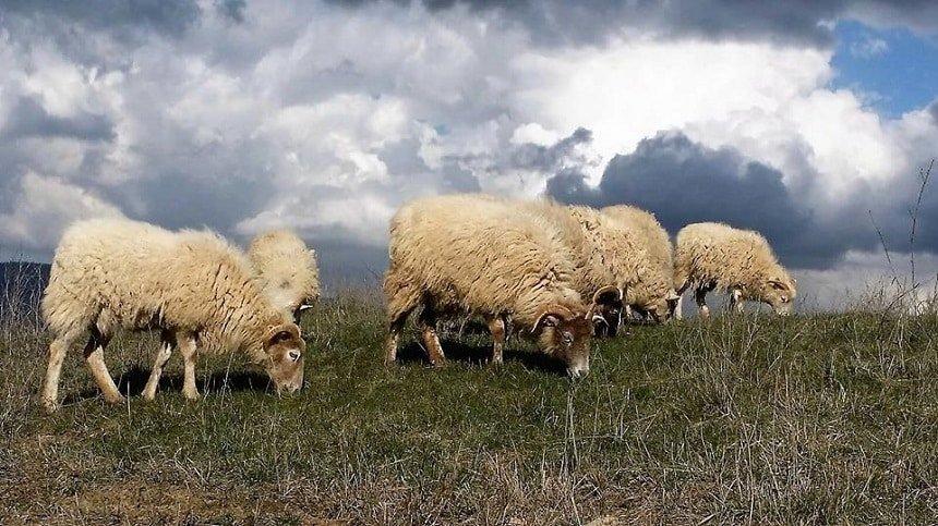 solo lana di pecore felici