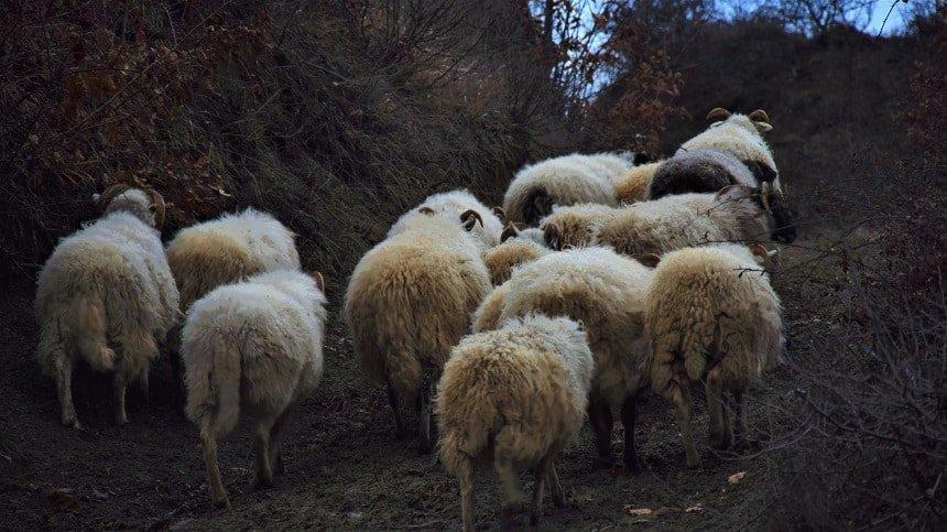 pecore felici verso il pascolo