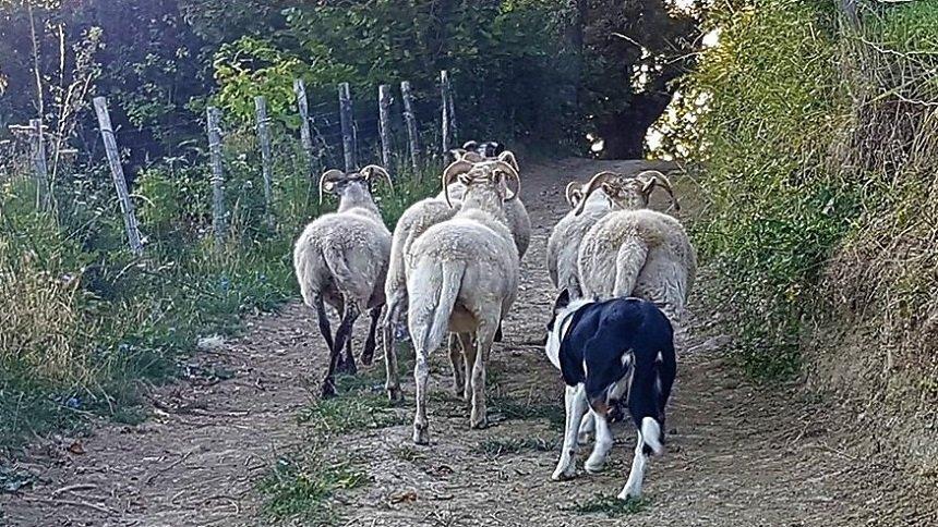 dimostrazione sheepdog alla festa di pareto