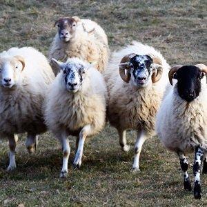 pecore per lo stage sheepdog con laura piperno