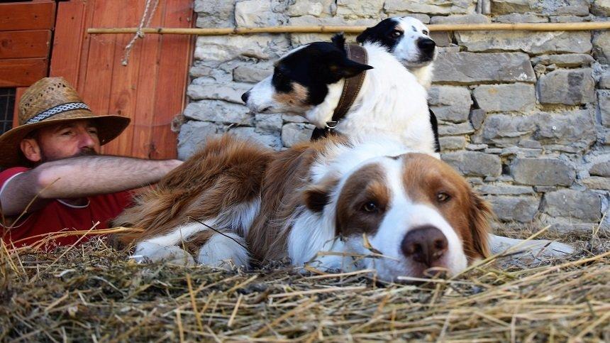 i miei cani razza border collie sul fieno