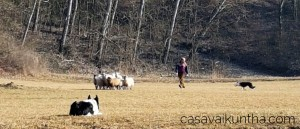 allenamento-sheepdog-da-laura-piperno