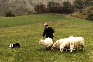 allenamento-sheepdog
