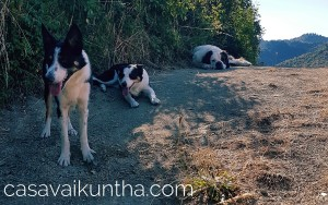 bordercollies-e-sanbernardo