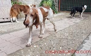 bracco-italiano-pensione-per-cani-casa-vaikuntha