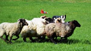 casavaikuntha-sheepdog-allenamenti10