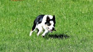 casavaikuntha-sheepdog-allenamenti4