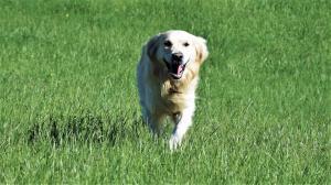 corsi-di-educazione-individuali-del-cane-casavaikuntha-goldenretriever2