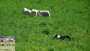 dimostrazione-sheepdog-casavaikuntha13