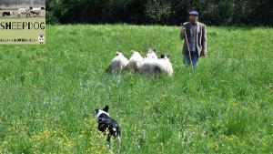 dimostrazione-sheepdog-casavaikuntha14
