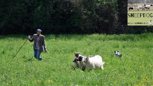 dimostrazione-sheepdog-casavaikuntha15