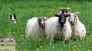 dimostrazione-sheepdog-casavaikuntha2