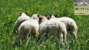 dimostrazione-sheepdog-casavaikuntha25