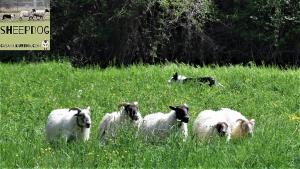 dimostrazione-sheepdog-casavaikuntha27