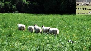 dimostrazione-sheepdog-casavaikuntha28