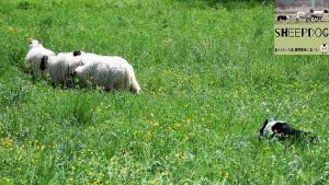 dimostrazione-sheepdog-casavaikuntha29