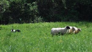 dimostrazione-sheepdog-casavaikuntha31