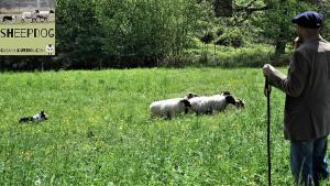 dimostrazione-sheepdog-casavaikuntha33
