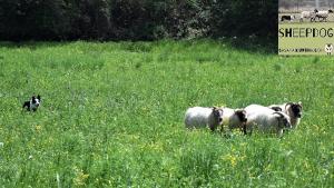 dimostrazione-sheepdog-casavaikuntha34