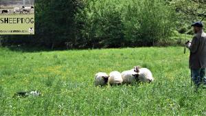 dimostrazione-sheepdog-casavaikuntha35