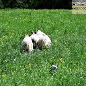 dimostrazione-sheepdog-casavaikuntha37
