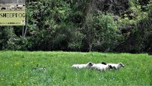 dimostrazione-sheepdog-casavaikuntha38