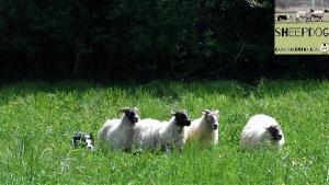 dimostrazione-sheepdog-casavaikuntha40